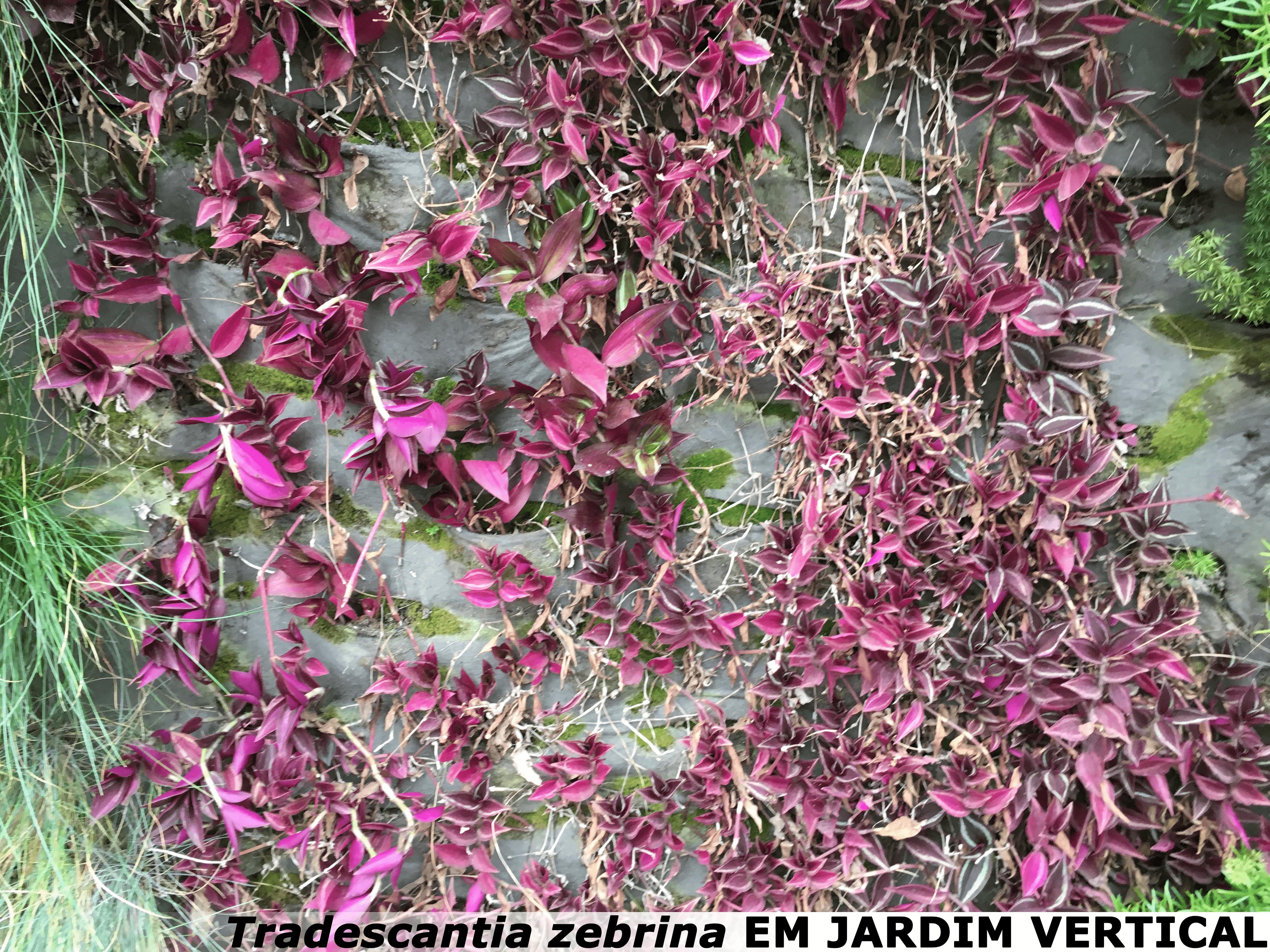tradescantia zebrina em jardim vertical